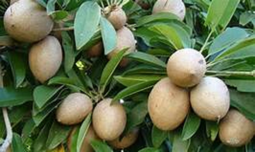health benefits of Chikoo fruit/chhayaonline.com
